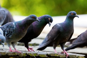 pigeons-on-the-roof
