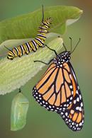 caterpillar-chrysalis-adult