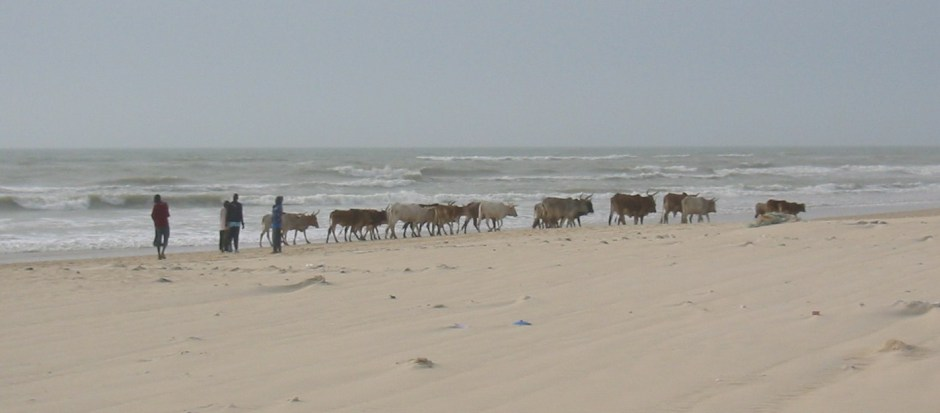 Senegal cattle