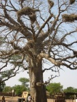 Senegal - tree