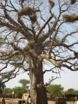 Senegal - tree