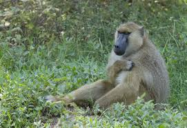 baboon in grass