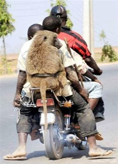 baboon on a bike